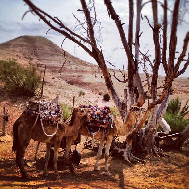 #camels